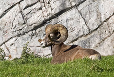 Big Horn Sheep. A Big Horn Sheep resting in a mountain meadow Royalty Free Stock Images