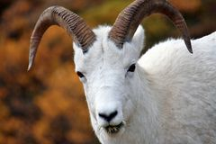 Big horn sheep Stock Photography