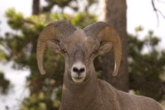 Big horn sheep. Big horn sheep shot in Canadian Rocky Mountains Stock Photo