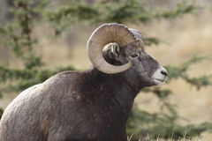 Big horn sheep. Big horn sheep shot in Canadian Rocky Mountains Royalty Free Stock Photos