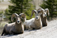 Big horn sheep. Group of sheep resting on a hill in Jasper National Park Royalty Free Stock Photos