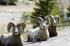 Big horn sheep. Group of sheep resting on a hill in Jasper National Park Stock Photos