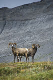 Big Horn Sheep stock photo