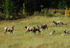 Big horn sheep Royalty Free Stock Images