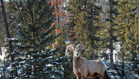 Big Horn Sheep. A young big horn sheep in the wilderness Stock Image
