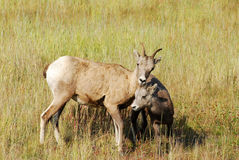Big horn sheep Royalty Free Stock Photo
