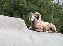 Big Horn Sheep. A big horn sheep on the rocks Royalty Free Stock Photos