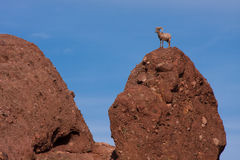 Big Horn Sheep. A Big horn sheep stands atop a rocky hill Royalty Free Stock Image