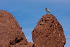 Big Horn Sheep Royalty Free Stock Image