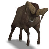 Big horn sheep aries Stock Photography