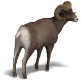 Big horn sheep aries Stock Images