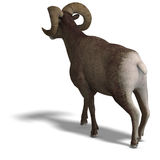 Big horn sheep aries Royalty Free Stock Photo