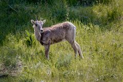 Big Horn Sheep Baby Stock Images