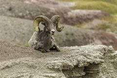 Big Horn Sheep in the Badlands. Big horn sheep on the edge of the valley at Badlands National Park in South Dakota Stock Photos