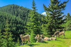 Free Big Horn Sheep, Banff National Park, Alberta, Canada Stock Images - 115886184