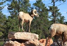 Big Horn Sheep at Bear Country Stock Image