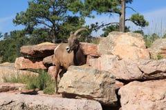 Big Horn Sheep at Bear Country Stock Images