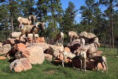Big Horn Sheep at Bear Country Royalty Free Stock Photo
