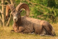 Big Horn Sheep bedding down royalty free stock image