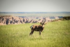 Big Horn Sheep. Encountered while driving through the Badlands of South Dakota Stock Photos