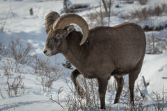 Big Horn Sheep Royalty Free Stock Photography