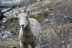 Big Horn Sheep Stock Image