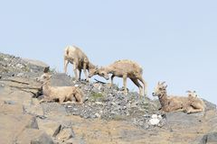 Big Horn Sheep Butting heads. Two Bighorn Sheep youngsters try to negotiate near the hamlet of Exshaw, Alberta, Canada Royalty Free Stock Photo