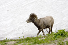 Big Horn Sheep Calling Royalty Free Stock Photo