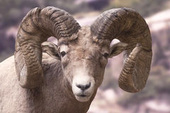 Big Horn Sheep. Close up picture of a Big Horn Sheep ram Royalty Free Stock Photography