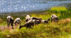 Big horn sheep in Colorado. Big horn sheep grazing near the edge of a lake in Rocky Mountain National Park in Colorado stock photography