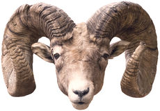 Big Horn Sheep. A cropped out image of a Big Horn Sheep's head Royalty Free Stock Image