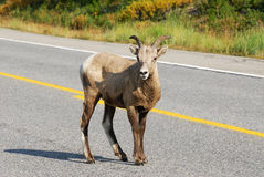 Big horn sheep crossing road Royalty Free Stock Photography