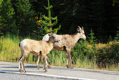 Big horn sheep crossing road Stock Photography