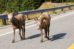 Big horn sheep crossing road Royalty Free Stock Photos