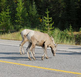 Big horn sheep crossing road Royalty Free Stock Image