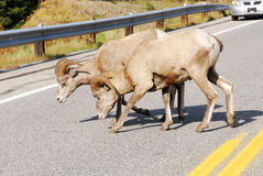 Big horn sheep crossing road Stock Image