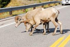 Big horn sheep crossing road stock image
