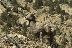 Big Horn Sheep eating snow Stock Image