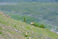 Big horn sheep. Ewe and juvenile stock photo
