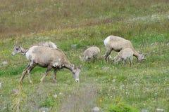 Big horn sheep. Ewe and juvenile big horn sheep eating grass royalty free stock photography