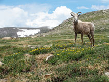 Big Horn Sheep. Ewe standing in an alpine meadow in the Colorado High Country Stock Images