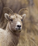 Big Horn Sheep ewe Stock Images