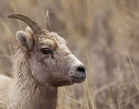 Big Horn Sheep ewe Royalty Free Stock Photo