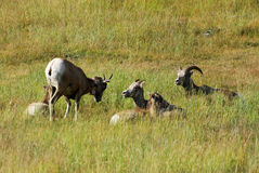 Big horn sheep family Stock Image