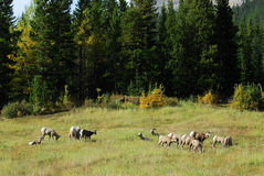 Big horn sheep family Royalty Free Stock Photo