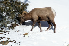 Big Horn Sheep feeding in the snow Stock Photography