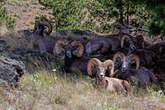 Big Horn Sheep Gathering Stock Photography