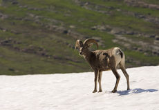 Big Horn Sheep on Glacier Royalty Free Stock Image