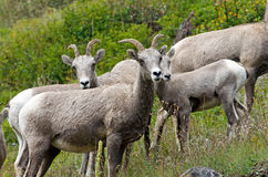 Big Horn Sheep in Glacier Royalty Free Stock Photos
