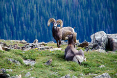 Big horn sheep grazing in colorado Royalty Free Stock Images